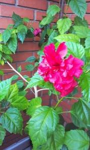 Hibiscus.jpg3
